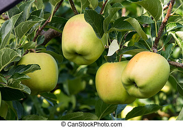 Four apples on the tree in the orchard - Four ripe yellow...