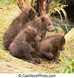 Four bear cubs looking in same direction