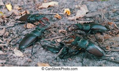 Four Beetle Deer Creeps on the Ground. Black beetle bugs...