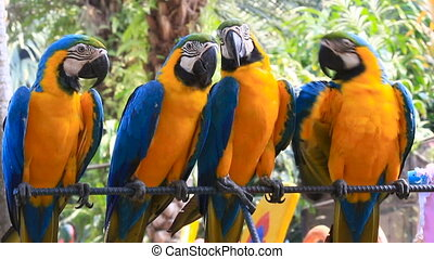 Four Blue-and-yellow macaw Ara ararauna , big clever bright parrots. Nong Nooch Tropical Garden in Pattaya, Thailand.