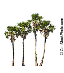 Four borassus flabellifer trees, known by several common ...