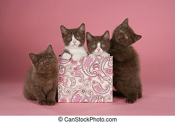 Four british shorthair kitten in a box on pink background