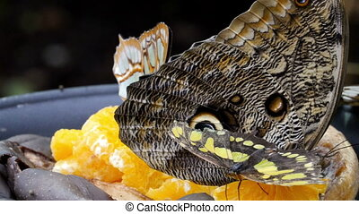 Four butterflies laying on the oranges
