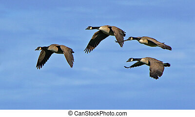 Four Canada geese flying together against a blue sky