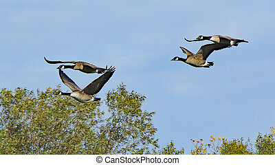Four Canada geese flying together over treetops