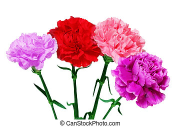 Four Carnations - Four carnation dianthus flowers isolated...