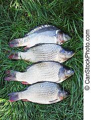 four carp on the grass