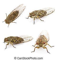 Four cicada isolated on white background