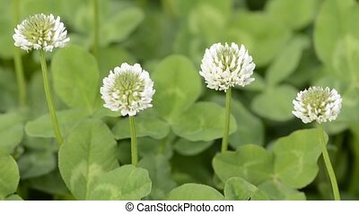 Four clover flowers - Four white clover flowers swaying in...