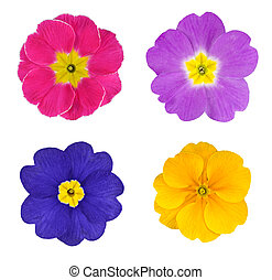 Four Colorful Primroses Flowers Isolated on White Background