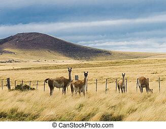 Four curious guanaco lamas in pampa