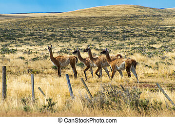 Four curious guanaco lamas in pampa in Argentina - Four ...