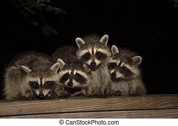 Four cute baby raccoons on a deck railing - Four cute baby...