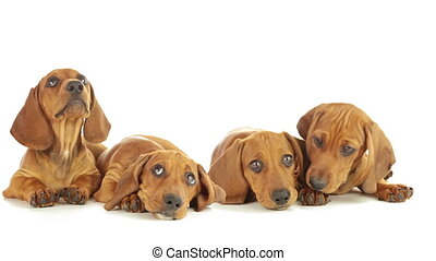Four dachshund puppy - Young dachshunds are lying on a white...