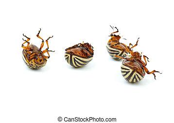 Four dead potato bugs (leptinotarsa decemlineata) isolated...