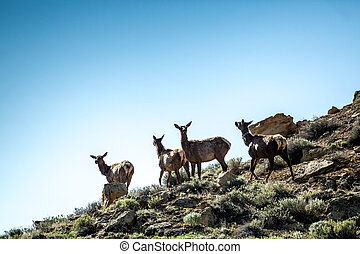 Four deers, elks on the mountains in Chaco