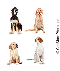 Four dogs of different races sitting isolated on white ...