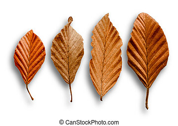 Four dry leaves on a white background