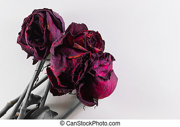 Four Dying Roses on White with Copyspace - Bunch of dying ...