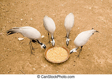 Four egrets pick corns from basin
