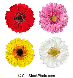 Four Fresh Gerbera Flowers Isolated on White