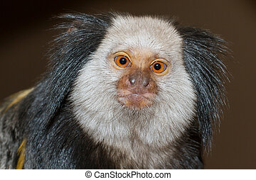 Four Geoffroy's Tufted-eared Marmoset in a dutch zoo