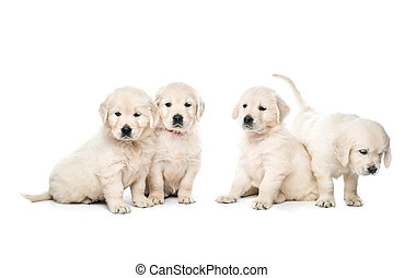 Four golden retriever puppies sitting together isolated