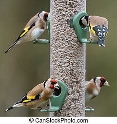 Four goldfinches seed feeder
