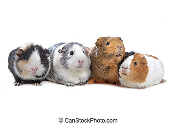 four Guinea pigs in a row isolated on white