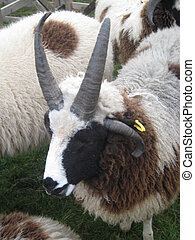 Four Horned Sheep - this picture of sheep with 4 horns was...
