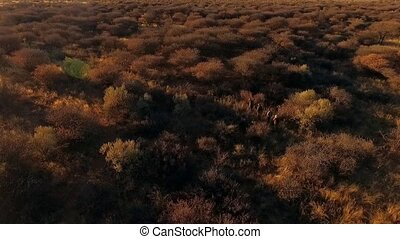 Four hunters walk past shrubs in the savannah of Namibia....