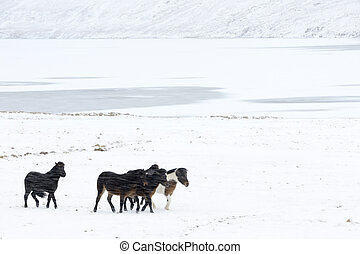 Four Icelandic horses walking in a blizzard.