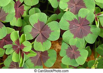 Four Leaf Clover Plant As An Irish Symbol For A
