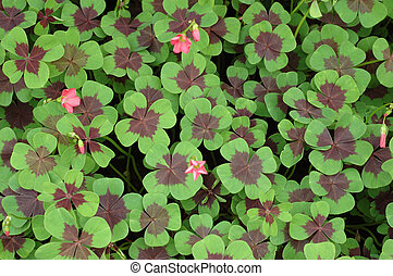Field of four leaf clover