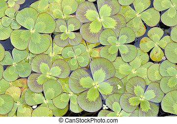 four-leaf lóhere