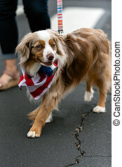 Patriotic Australian Shepard dog dressed in red white and blue bandana while celebrating 4th July holiday on city street.