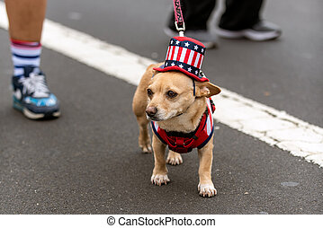 Patriotic Chihuahua dog dressed in red white and blue top hat while celebrating 4th July holiday on city street.