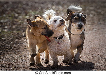 A puppy and two adult mongrel dogs together form the four-legged three musketeers. The three dogs run playing together along a path.