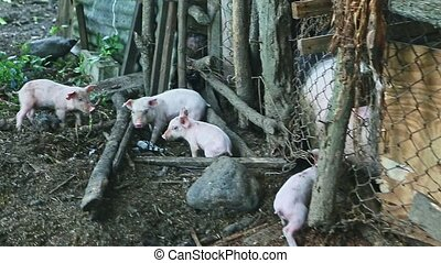 four little pink piglets running outside farm dirty swine paddock with large white hairy sow behind rustic fence