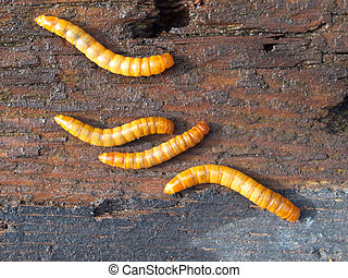 Four mealworms background detail