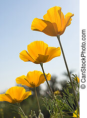 Four Mexican poppies line up to form a beautiful array of springtime flowers