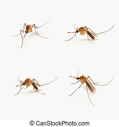 Four mosquitoes - Four Isolated mosquitoes taken with a very...