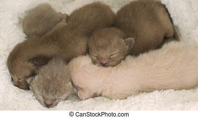four newborn kittens Burmese breed on the fur litter