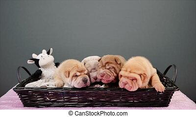 Four Newborn Shar Pei Dog Pups in a Basket