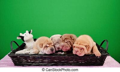 Four Newborn Shar Pei Dog Pups in a Basket Green Screen