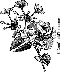 Four o' Clock Flower vintage engraving