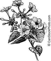 Four o' Clock Flower vintage engraving - Four o' Clock...