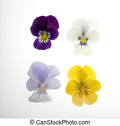 Four Pansies on White - Photo of four beautiful pansies: ...