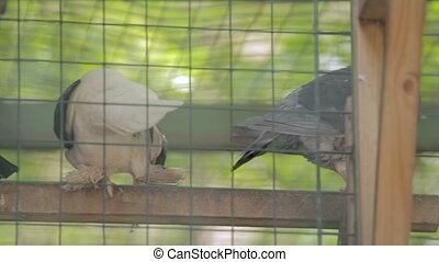 Four pigeons in a birdcage