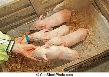 Four piglets